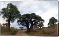 Baobab Trees (Adansonia digitata) in a forest, Tarangire National Park, Tanzania Fine-Art Print