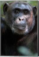 Close-up of a Chimpanzee (Pan troglodytes), Kibale National Park, Uganda Fine-Art Print