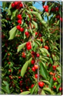 Cherries to be Harvested, Cucuron, Vaucluse, Provence-Alpes-Cote d'Azur, France (vertical) Fine-Art Print
