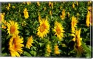 Sunflowers (Helianthus annuus) in a field, Vaugines, Vaucluse, Provence-Alpes-Cote d'Azur, France Fine-Art Print