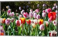 Field of Tulips Fine-Art Print