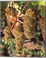 Chardonnay Grapes, California Fine-Art Print
