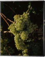 Grapes in a Viineyard, Carneros Region, California Fine-Art Print