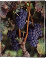 Purple Grapes, Wine Country, California Fine-Art Print