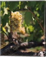 Chardonnay Grapes in Vineyard, Carneros Region, California Fine-Art Print