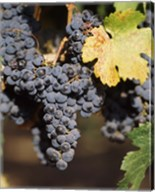 Cabernet Sauvignon Grapes, Wine Country, California Fine-Art Print