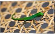 Gecko lizard, Seychelles Fine-Art Print
