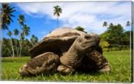 Close Up of Giant Tortoise, Seychelles Fine-Art Print