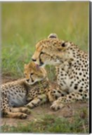 Cheetah with cub in the Masai Mara GR, Kenya Fine-Art Print