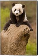 China, Wolong Panda Reserve, Baby Panda bear on stump Fine-Art Print