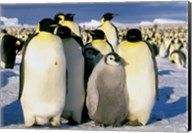 Emperor Penguins, Atka Bay, Weddell Sea, Antarctic Peninsula, Antarctica Fine-Art Print