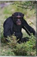 Chimpanzee, Sweetwater Chimpanzee Sanctuary, Kenya Fine-Art Print