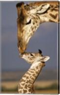 Giraffe, Masai Mara, Kenya Fine-Art Print