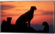 Cheetah Silhouetted By Sunset, Masai Mara Game Reserve, Kenya Fine-Art Print