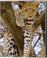 Africa. Tanzania. Leopard in tree at Serengeti NP Fine-Art Print