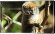 Madagascar, Andasibe, Ile Aux Lemuriens, baby Golden Bamboo Lemur. Fine-Art Print