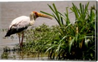 Kenya. Masai Mara, Yellowbilled stork bird Fine-Art Print