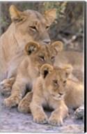 Lioness and Cubs, Okavango Delta, Botswana Fine-Art Print