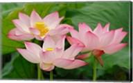 Lotus flower, Nelumbo nucifera, China Fine-Art Print