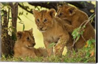 Lion cubs in the bush, Maasai Mara Wildlife Reserve, Kenya Fine-Art Print