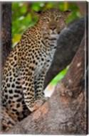 Leopard, Botswana Fine-Art Print