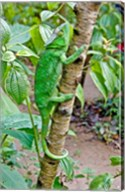 Madagascar, Lizard, Chameleon on tree limb Fine-Art Print