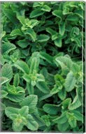 Mint Leaves for Brewing Traditional Tea, Morocco Fine-Art Print