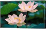 Lotus Flower in Blossom, China Fine-Art Print