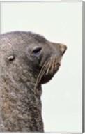 Close up of Antarctic Fur Seal, South Georgia, Sub-Antarctica Fine-Art Print