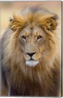 Male Lion at Africat Project, Namibia Fine-Art Print