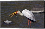 Kenya, Masai Mara. Yellow-billed stork, fish prey Fine-Art Print