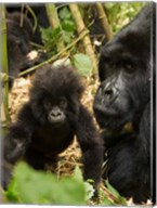 Adult and baby Gorilla, Volcanoes National Park, Rwanda Fine-Art Print