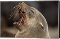 Namibia, Cape Cross Seal Reserve. Close up of Southern Fur Seal Fine-Art Print