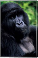 Close up of Mountain Gorilla, Rwanda Fine-Art Print
