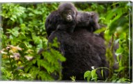 Gorilla carrying baby, Volcanoes National Park, Rwanda Fine-Art Print