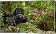 Close up of Mountain gorillas, Volcanoes National Park, Rwanda. Fine-Art Print