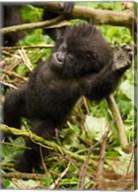 Rwanda, Volcanoes Park, Baby Mountain gorilla Fine-Art Print