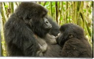 Rwanda, VP, Baby Mountain Gorilla Breast Feeding Fine-Art Print