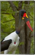 Saddle-billed Stork, Kruger NP, South Africa Fine-Art Print