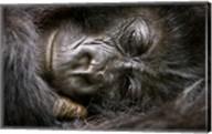 Rwanda, Volcanoes NP, Mountain Gorilla Sleeping Fine-Art Print