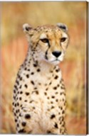 Sitting Cheetah at Africa Project, Namibia Fine-Art Print
