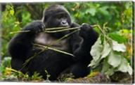 Rwanda, Blackback Mountain Gorilla, Buffalo Wall Fine-Art Print