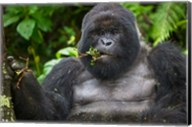 Mountain Gorilla Chewing Leaves, Rwanda Fine-Art Print
