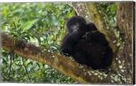 Rwanda, Mountain Gorilla forages, Buffalo Wall Fine-Art Print
