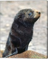 Close up of fur seal pup Fine-Art Print