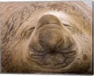 South Georgia Island, Sleeping bull elephant seal Fine-Art Print