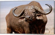 Tanzania, Ngorongoro Crater. African Buffalo wildlife Fine-Art Print
