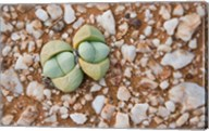 Succulents, quartz, Cape Province, South Africa Fine-Art Print