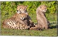 Tanzania, Ngorongoro Conservation, Cheetahs Fine-Art Print