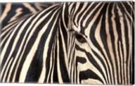 Tight Portrait of Plains Zebra, Khwai River, Moremi Game Reserve, Botswana Fine-Art Print
